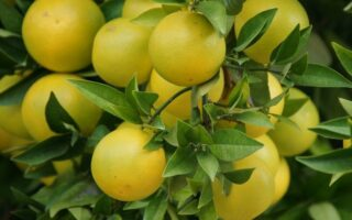grapefruit plant