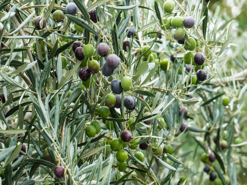olives plant